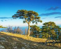 Landscape of summer mountains at sunset. Landscape with beautiful mountain pine in the evening royalty free stock photo