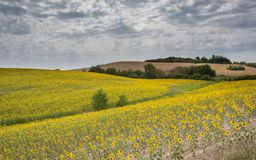 Landscape of summer sunflowers in Tuscany Royalty Free Stock Photo