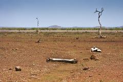 Landscape sunburned and buffalo bones, Kruger, South Africa. Landscape sunburned and buffalo bones, african bushveld, Kruger, South Africa Royalty Free Stock Photos