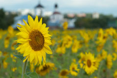 Landscape with sunflower and church. Field of blossom yellow sunflowers Stock Photography
