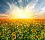 Landscape sunflower field stock photos