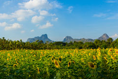Landscape sunflower field and mountain in summer Royalty Free Stock Photos