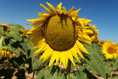 Landscape of sunflower field at summer sunny day Stock Photo