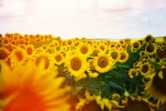 Sunflower in the field Royalty Free Stock Image