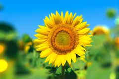 Landscape with sunflower Stock Photos