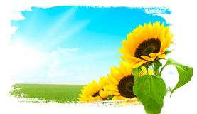 Landscape - sunflowers, green land, blue sky Stock Images