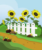Landscape with sunflowers. Rural landscape with sunflowers and white fence Royalty Free Stock Images
