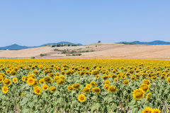 Landscape with sunflowers, tuscany Stock Photography