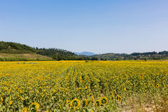 Landscape with sunflowers, tuscany Royalty Free Stock Images