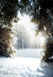 Landscape of sunny day at winter fir forest Royalty Free Stock Image