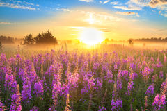 Landscape with the sunrise  and  blossoming meadow Royalty Free Stock Images