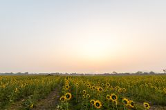 Sunflowers field. Landscape of sunrise at sunflowers farm and mountain Stock Image