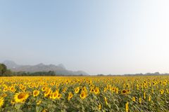 Sunflowers field. Landscape of sunrise at sunflowers farm and mountain Stock Images