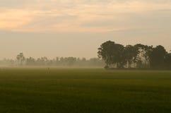 Sunset on green rice farm Stock Photo