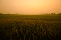 Sunset on green rice farm Royalty Free Stock Photos