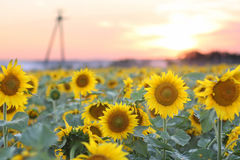 Landscape with sunset over sunflowers field Stock Photo