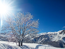 Landscape with sunshine and snowy tree Royalty Free Stock Image