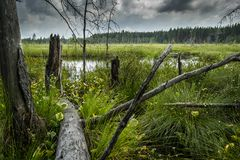 Landscape swamp in the forest, swampy panorama with green swamp vegetation, dead trees and gloomy sky. Summer swamp landscape with lush green swamp vegetation royalty free stock photos