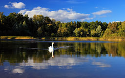 Landscape with a swan Stock Images