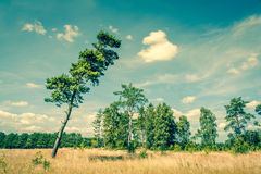 Landscape with a tall pine tree Royalty Free Stock Photo