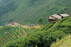 Landscape of Tea Field with fogs at Chiangmai Thailand, Royalty Free Stock Images