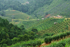 Landscape of Tea Field with fogs at Chiangmai Thailand, backgrou. Nd Stock Photo