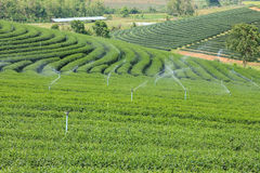 Landscape of tea plantation in Chiang Rai Royalty Free Stock Photography