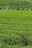 Landscape of tea plantation in Chiang Rai Stock Image