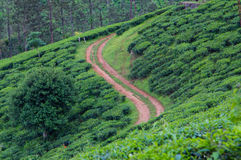 Landscape of Tea Plantation Stock Images