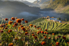 Landscape of 2000 Tea Plantation Field with fog in morning at Doi Ang Khang ,Chiangmai ,Thailand. Stock Photos