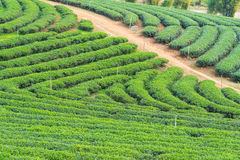 Landscape of tea plantation. In the northern area of Thailand royalty free stock photos