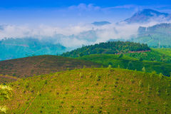 Landscape tea plantation with young shoots of tea Stock Photos