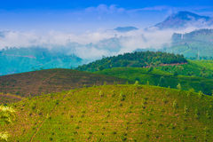 Landscape tea plantation with young shoots of tea Royalty Free Stock Photography