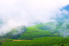 Landscape of the tea plantations with fog in India Stock Images