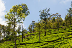 Landscape of tea plantations Royalty Free Stock Photography
