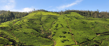 Landscape with tea plantations Stock Image