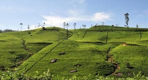 Landscape with tea plantations Royalty Free Stock Photo