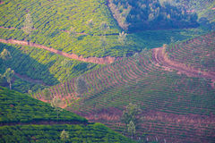 Multi colored landscape of the tea plantations Stock Image