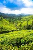 Tea plantations in India Royalty Free Stock Photography