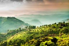 Tea plantations in India (tilt shift lens). Landscape of the tea plantations in India, Kerala Munnar. (tilt shift lens Royalty Free Stock Image
