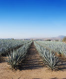 Landscape tequila. Lanscape tequila mexico art agave Stock Photography