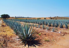 Landscape tequila mexico Stock Photo