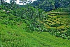 Terrace rice field of ubud Bali Royalty Free Stock Photography