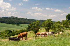 Landscape Thuringia with cow Stock Photography