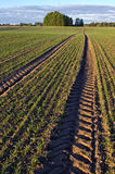 Landscape with tractor tracks through wheat field in  autumn Royalty Free Stock Photos