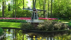 Dutch wind mills. Landscape with traditional Dutch windmills and blooming tulips, Netherlands stock video footage