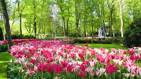 Dutch wind mills. Landscape with traditional Dutch windmills and pink blooming tulips, Netherlands stock footage