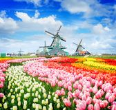 Dutch wind mills. Landscape with traditional Dutch windmills of Zaanse Schans and rows of tulips, Netherlands, retro toned Royalty Free Stock Images