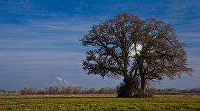 Landscape with tree. A landscape of a tree with a blue sky and Mount Hood in the background Royalty Free Stock Photos