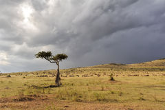 Landscape with tree in Africa Royalty Free Stock Image